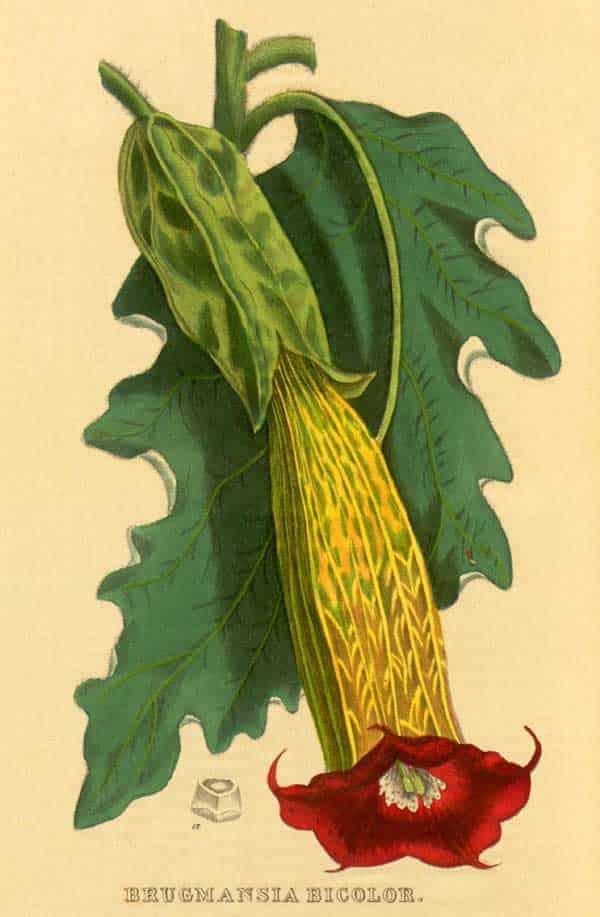 Brugmansia Sanguinea (bicolor)