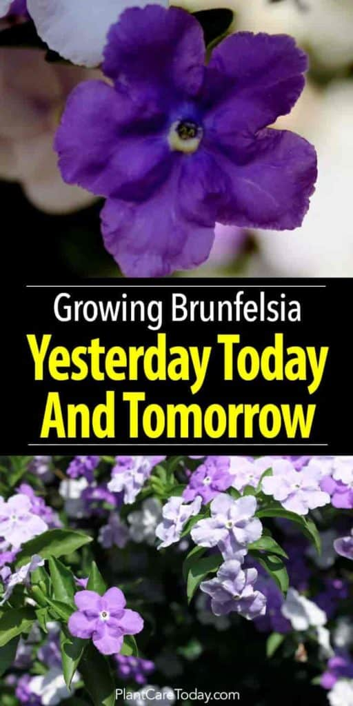 brunfelsia - yesterday Today and Tomorrow plant