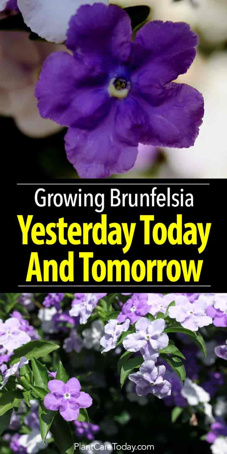 Yesterday Today And Tomorrow How To Grow And Care For Brunfelsia