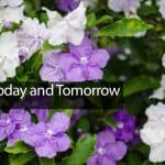 Yesterday Today and Tomorrow: How To Grow and Care For Brunfelsia