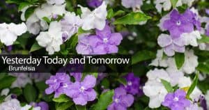 Flowers of the yesterday today and tomorrow plant