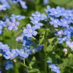 Brunnera Macrophylla Plant Care: How To Grow Siberian Bugloss