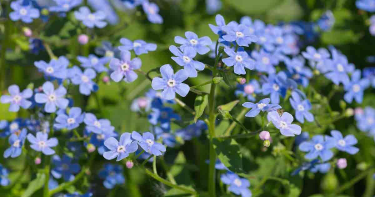 Brunnera Macrophylla Plant Care: How To Grow Siberian Bugloss