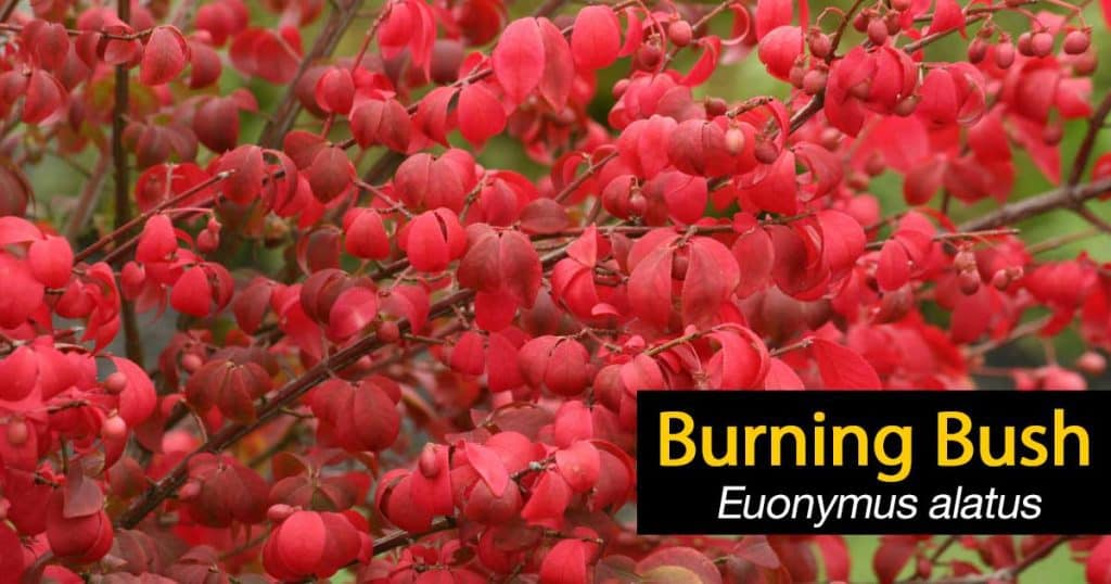 burning bush euonymus up close