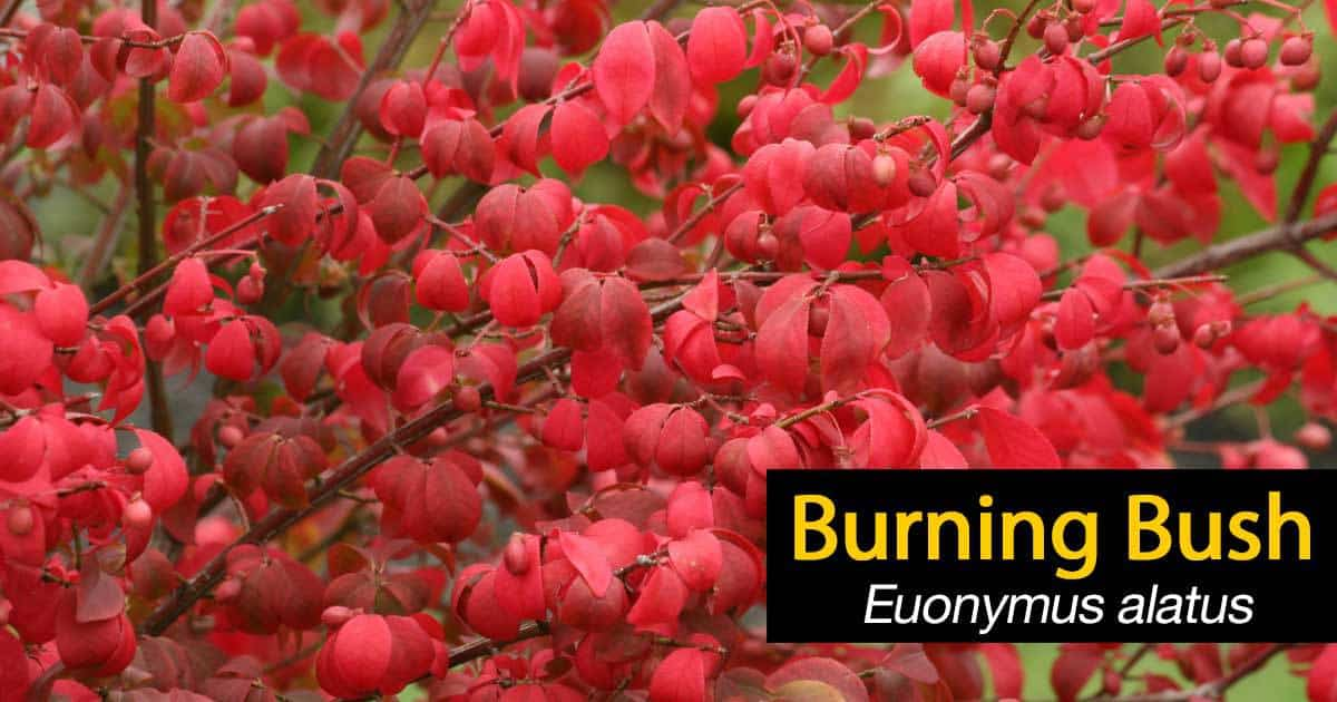 Burning Bush How To Grow And Care For Euonymus Alatus