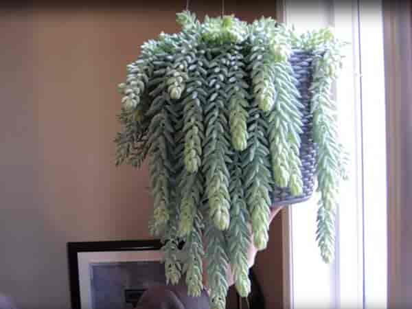 Hanging Sedum Tail basket