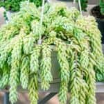 burro's tail plant in hanging basket