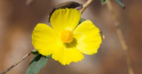 Yellow native Dendromecon rigida poppy