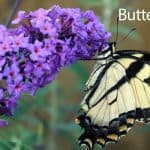 Butterfly Bush: How To Select, Care For And Control The Buddleia