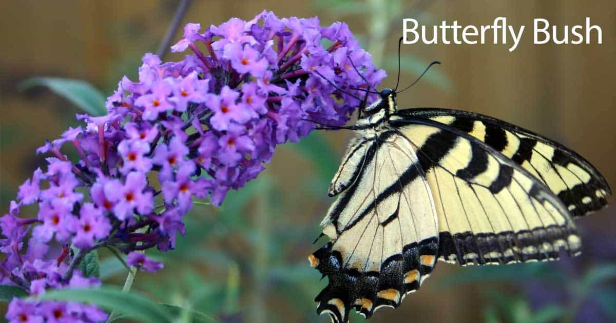 butterfly on a Buddelia plant