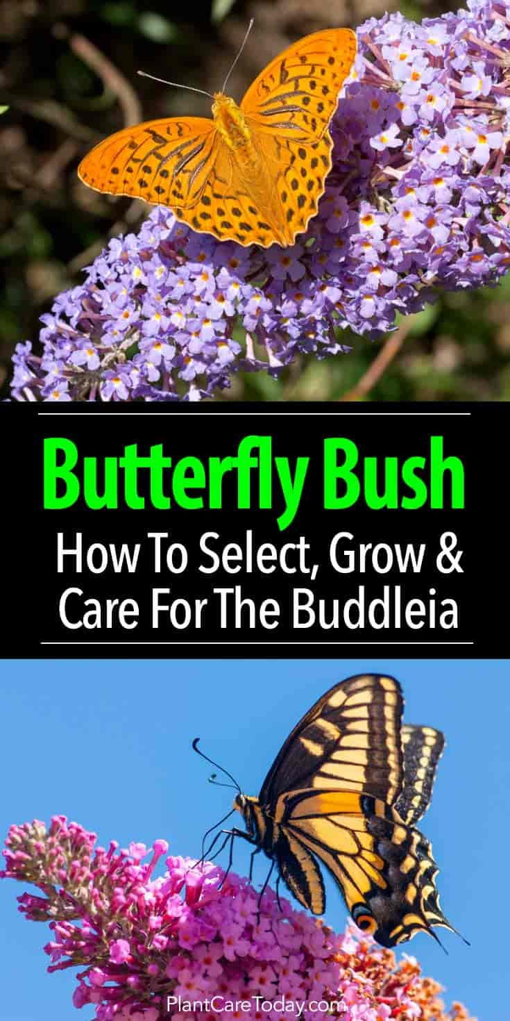 The butterfly bush, Buddleia plant attracts butterflies but some consider it invasive.