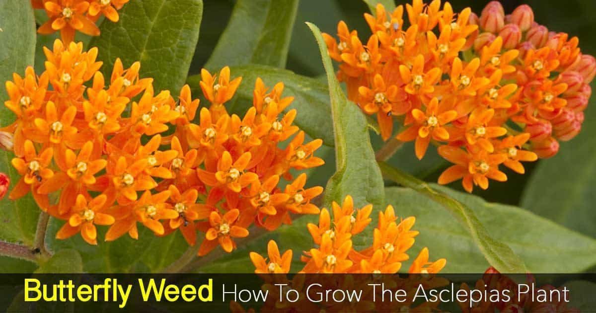 butterfly weed care how to grow asclepias plant, Beautiful flower