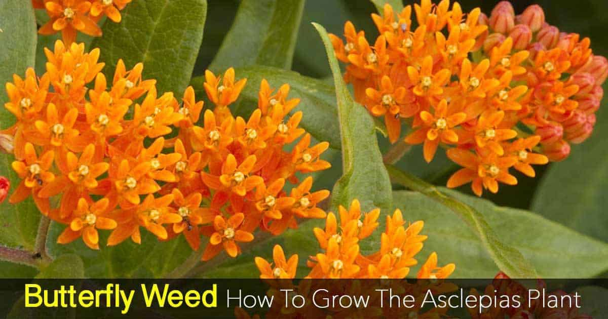 blooms of the butterfly weed - Asclepias plants