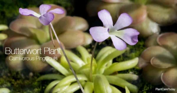 Foliage and flowering Butterwort Plant - Pinguicula