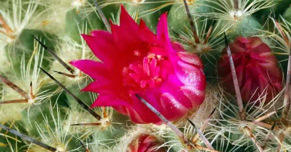 Flowering cactus up close