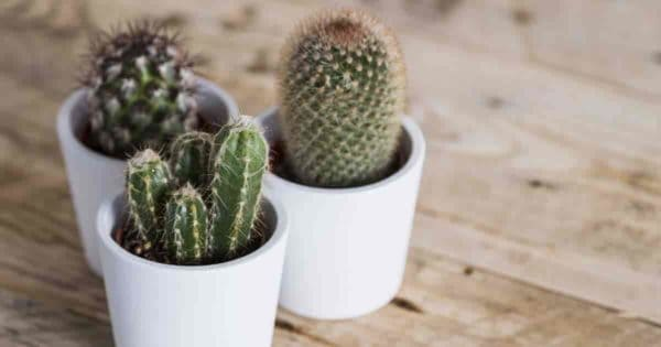cactus soil mix for potted cacti