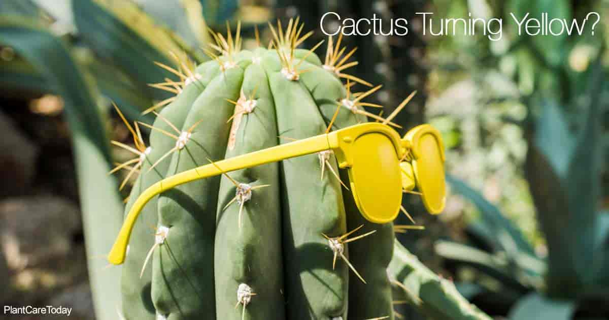 cactus plant with yellow sunglasses attached