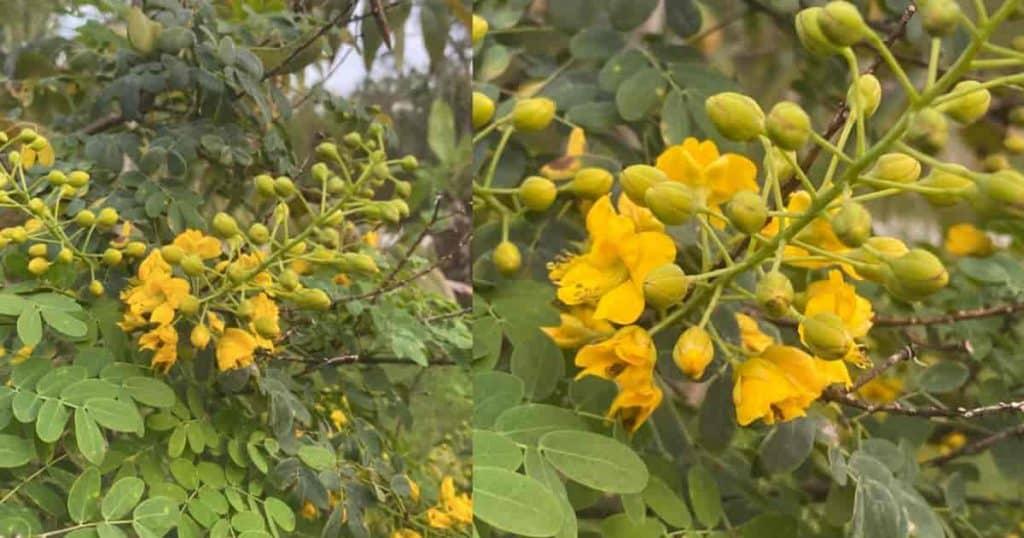 Blooming Caesalpinia Mexicana