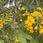 How To Care For Mexican Bird Of Paradise Plants