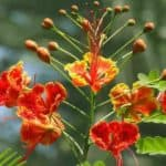 Flowers of the Dwarf Poinciana Tree