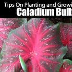 Your Complete Guide To Planting And Growing Caladium Bulbs