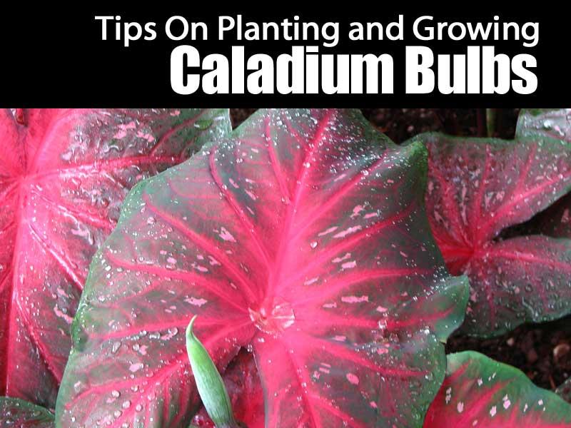growing caladium bulbs
