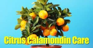 calamondin with fruit