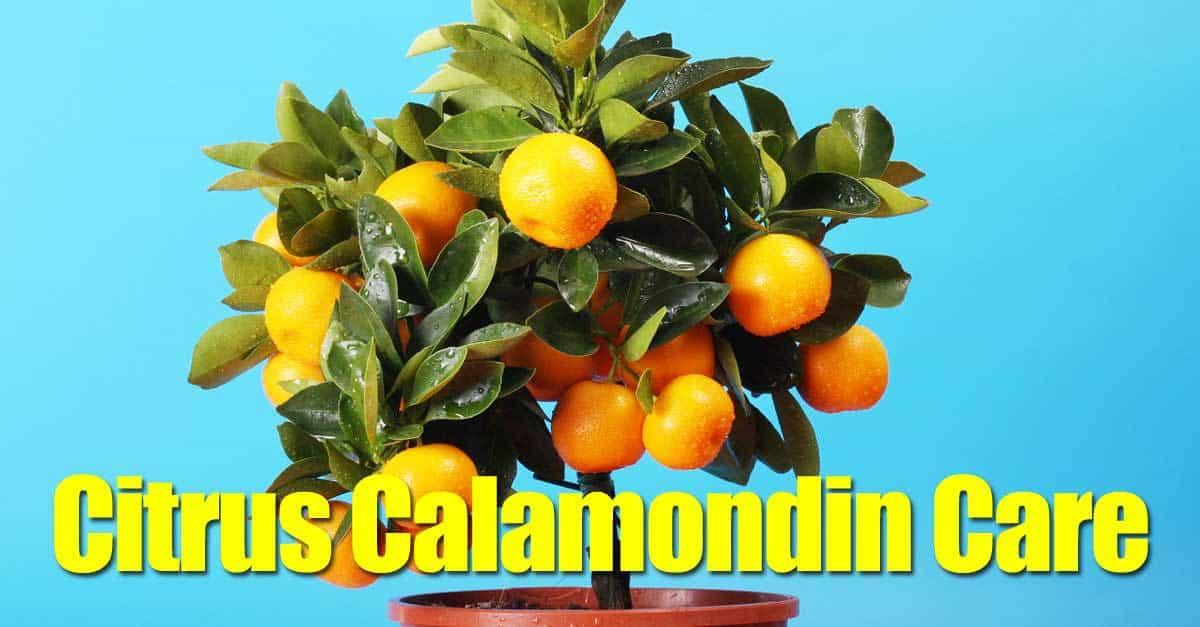 citrus calamondin care. Black Bedroom Furniture Sets. Home Design Ideas