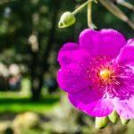 Rock Purslane Care: All About Growing Calandrinia