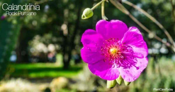Bright pink flowers of Rock Purslane (Calandrinia Plant)