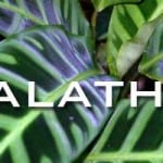 Calathea Care For The Home and Landscape