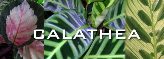 several varieties show leaves of the calathea