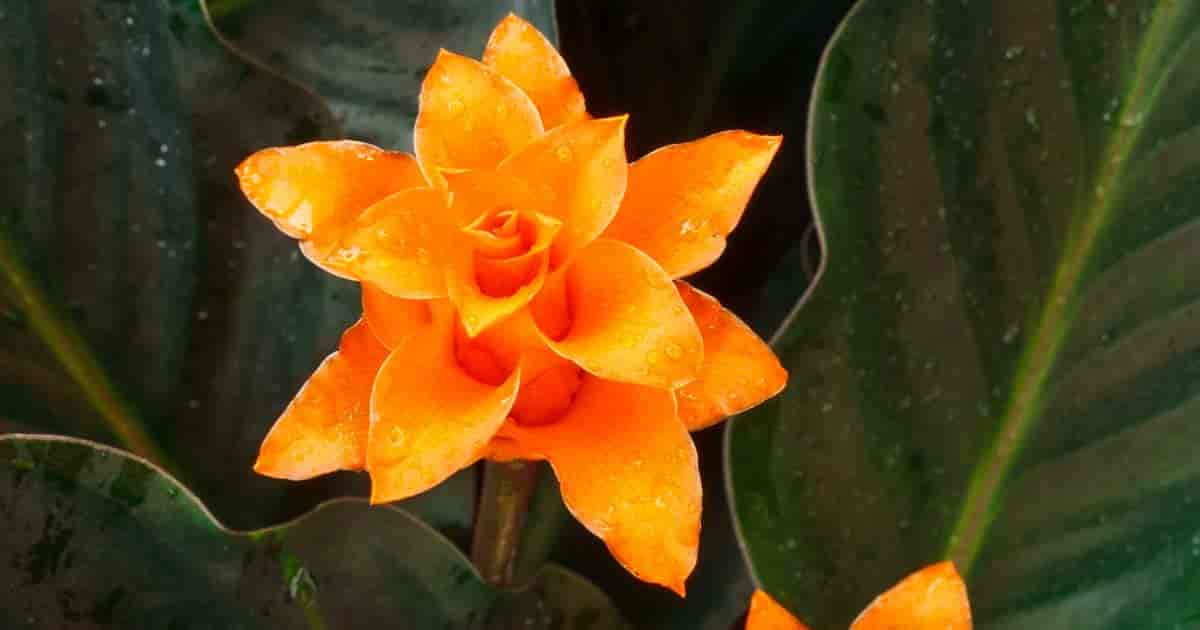 Flower of Calathea Crocata also known as the Eternal Flame