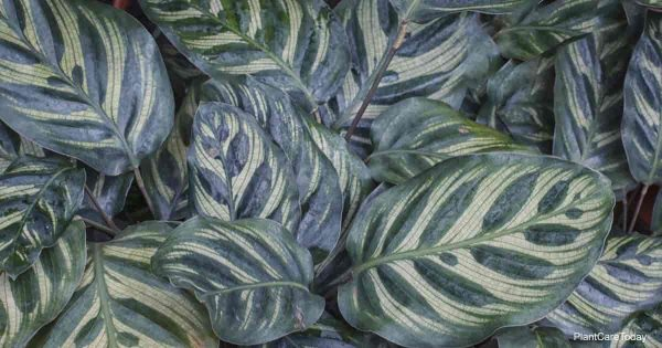 peacock plant (Calathea makoyana)