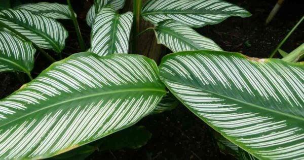 Mature pinstripe calathea with white stripes