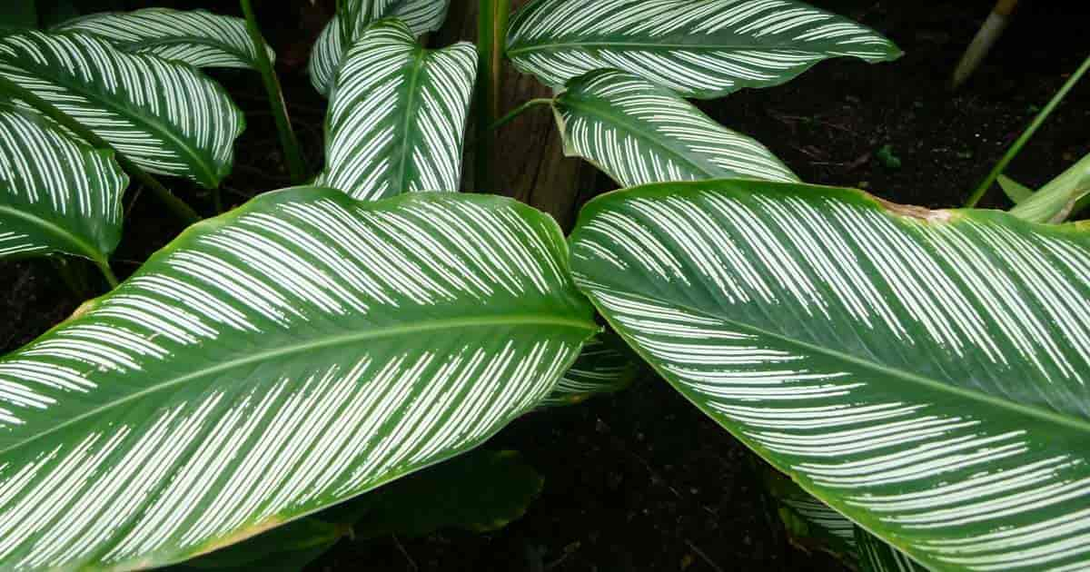 Mature pinstripe calathea with white stripes