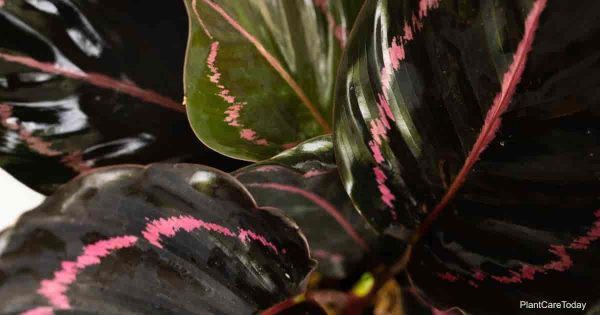 Beautiful dark green foliage of Calathea Roseopicta