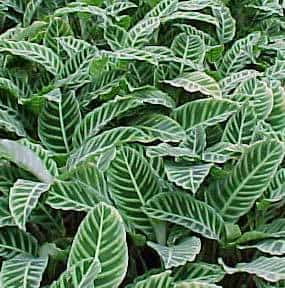 calathea-zebrina
