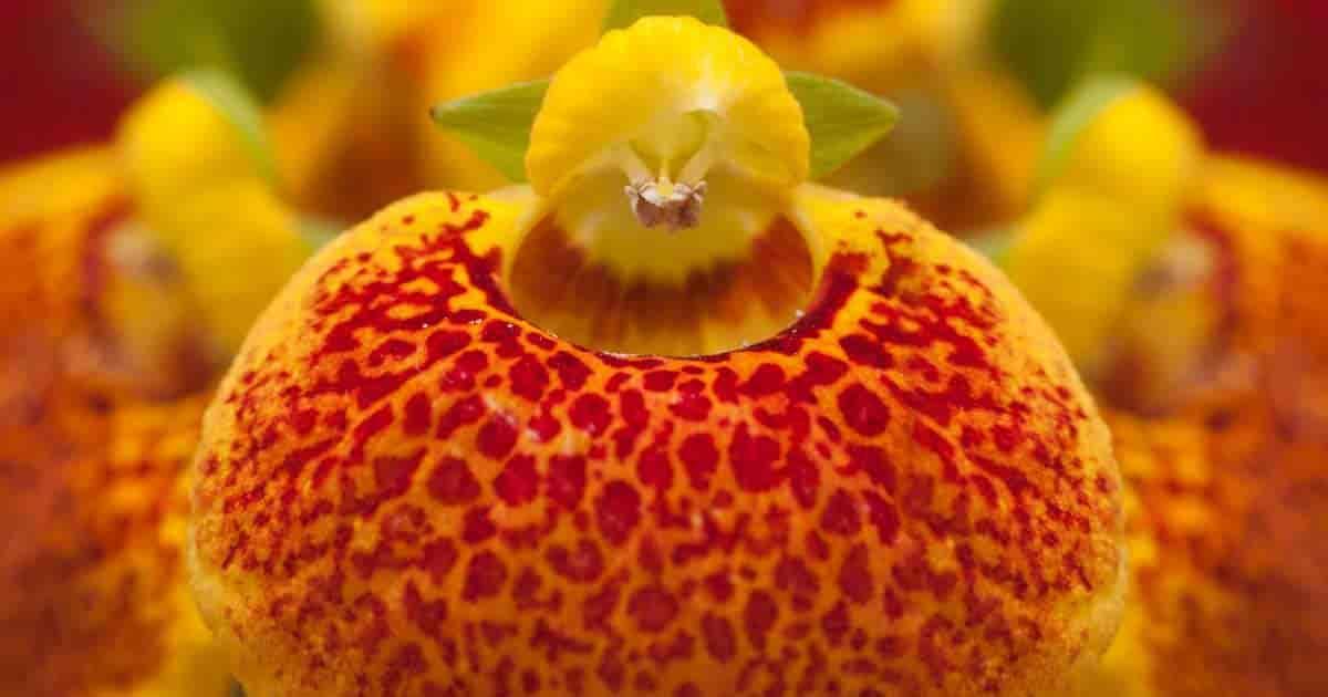 pocketbook flower up close