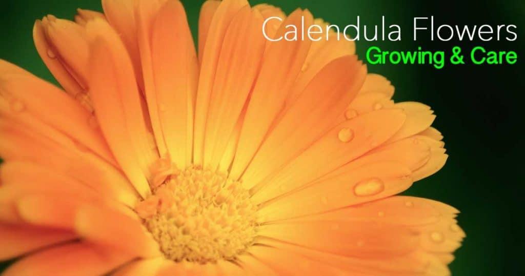 Blooms up close of an orange Calendula flower