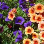 How To Grow And Care For Calibrachoa – Million Bells