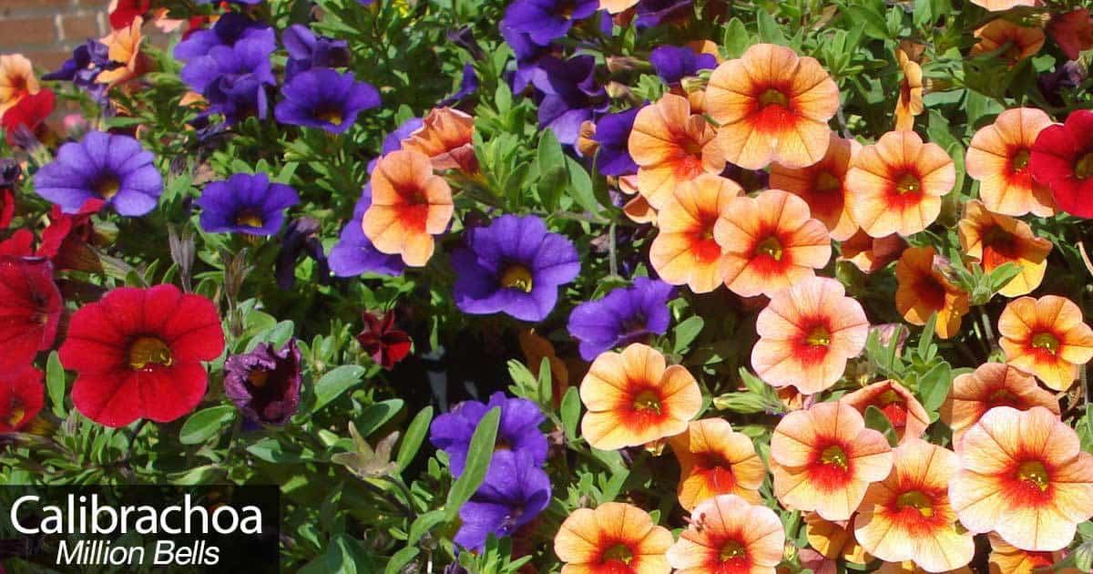How to grow and care for calibrachoa million bells - Calibrachoa perenne ...