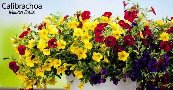 yellow, red, and purple calibrachoa flowers