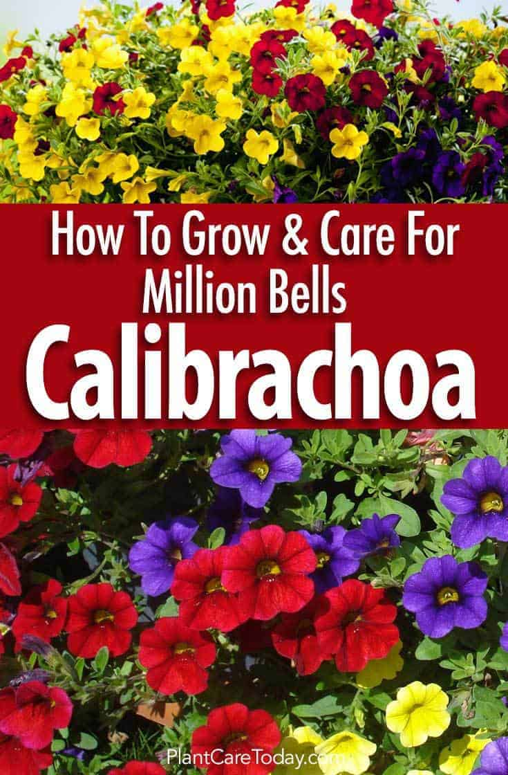 Calibrachoa Care How To Grow Million Bells Flowers Updated Guide
