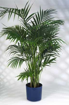 Caring For The Beautiful Kentia Palm Howea Forsteriana