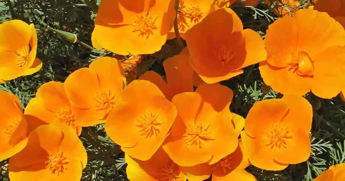 Blooming Golden poppy - Eschscholzia californica