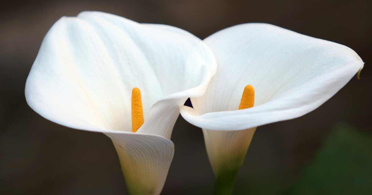 Caring For Calla Lilies Growing Calla Lily Fertilizer Bulbs
