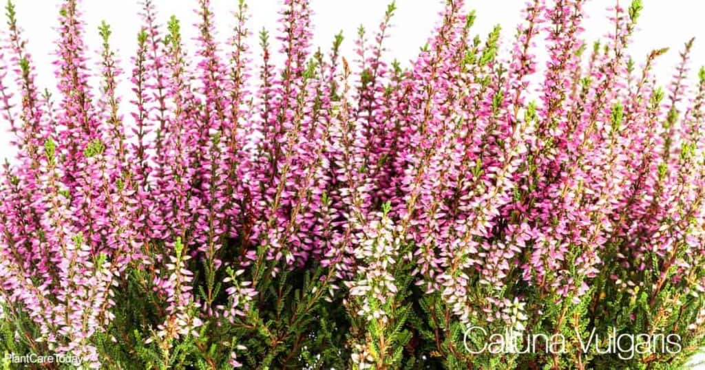 blooms of the Calluna Vulgaris (aka Heather Plant)
