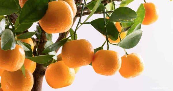 Orange fruit of the dwarf Calamondin