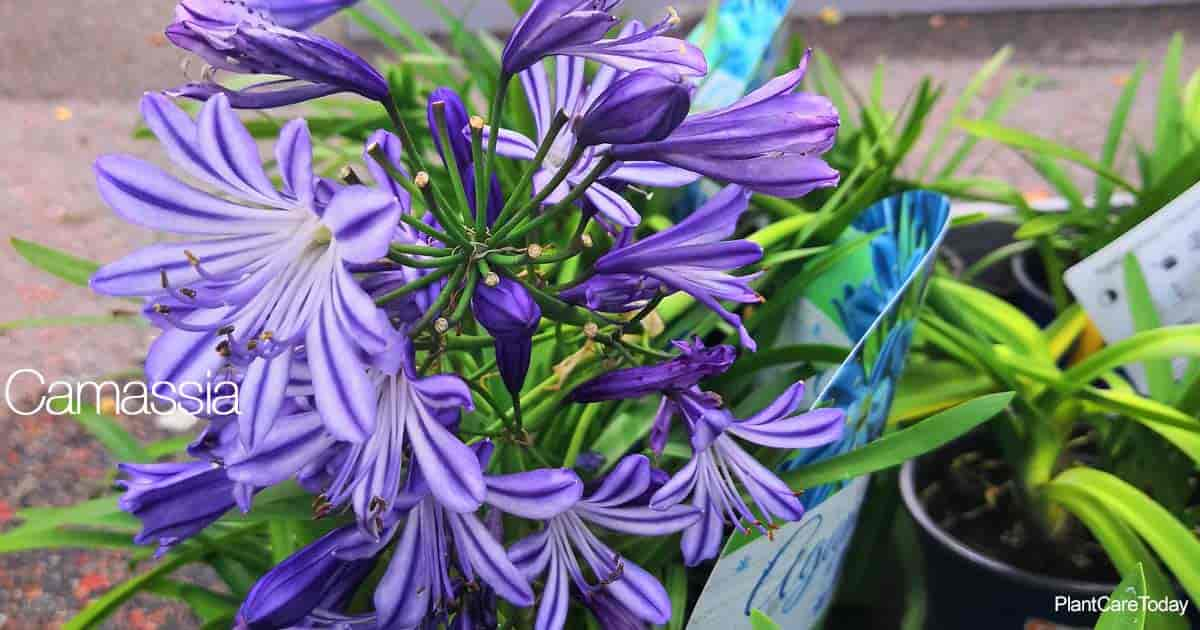 Attractive flowers of the Camassia Plant aka Camas Lily